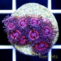 *Reef Pets* Pink Rapture Zoanthids Zoas Frag *Live Reef Coral*
