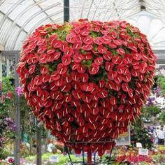 Planta de interior: Anthurium #jardinería