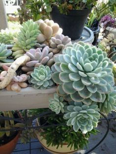 Succulents / Variety