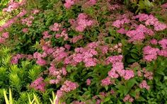 Little Bonnie Dwarf Spiraea - 2 Gallon - Shrub - Flowering Shrubs Bonsai Tree Types, Bonsai Tree Care, Spirea Shrub, Shrubs For Sale, Buy Plants Online, Indoor Bonsai, Flower Garden Design, Free Plants, Flowering Shrubs