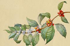 Coffee Plant on Behance