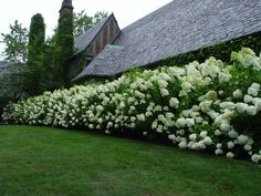 Beautiful hydrangea hedge