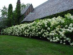 Beautiful hydrangea hedge