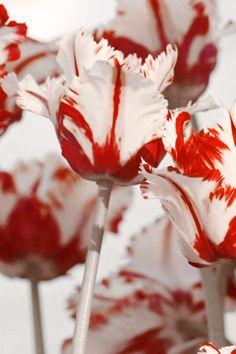 Red and white tulips Flower HD desktop wallpaper, Tulip wallpaper - Flowers no. Iphone 6 Wallpaper, Flower Wallpaper, Red Wallpaper, Tulips Images, Love Yourself Lyrics, Desktop Background Pictures, Alice Madness, Parrot Tulips, White Tulips