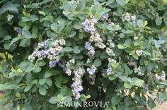 Bountiful Blue® Blueberry (Vaccinium corymbosum 'FLX-2' P.P.# 19,381) - Monrovia -  3-4' x 3-4'