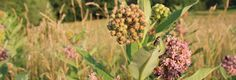 Common Milkweed (and a Recipe for Milkweed Bud & Cheddar Soup)   Kentucky Forager