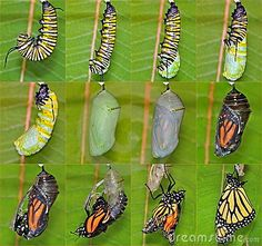 A complete twelve- step Monarch butterfly metamorphosis capturing this remarkable creatures miraculous life cycle.