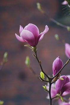 Magnolie Nature in Violet!  http://www.ecoglobalsociety.com/nature-in-violet/