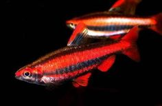 Nannostomus mortenthaleri: coral red pencilfish