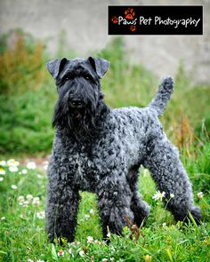 Kerry Blue Terrier-----just like Perry