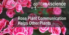 Rose plant communication helps other plants