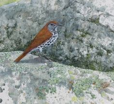 Wood Thrush on the Rocks