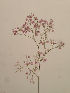 Pink Gypsophila (baby's breath)
