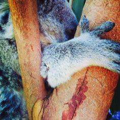 Koala, Brisbane Australia