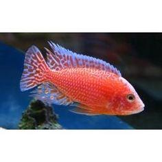 Peces Ciclidos Africanos Aulonocara Firefish