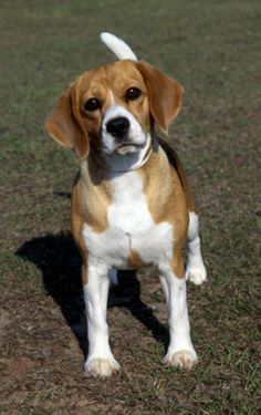 Uno 15 Inch Beagle Wins Best In Show For 2008 Westminister Dog