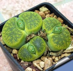 10 Mixed Lithops Pseudotruncatella Succulent Seeds These mini Succulent plants make great accent pieces to any home or garden and are small enough to fit on an