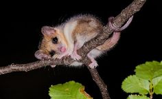 "The monito del monte (Spanish for ""little monkey of the bush"") or colocolo opossum, Dromiciops gliroides, is a diminutive marsupial native only to southwestern South America Bizarre Animals, Extinct Animals, Opossum, Living Fossil, Tasmanian Devil, Little Monkeys, All Plants, Fossils, South America"