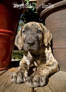 Brindle Great Dane pup