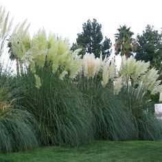 Cortaderia selloana - Ornamental Grasses Five Live Fully Rooted Perennial Plants by Hope Springs Nursery Common Name - White Pampas Grass Evergreen in some zones Large and bold with huge, feathery plumes. Pampas grass has been widely used . Privacy Plants, Privacy Landscaping, Front Yard Landscaping, Landscaping Ideas, Garden Privacy, Patio Plants, Landscape Design, Garden Design, Landscape Architecture