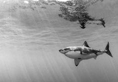 film noir shark - ambling...