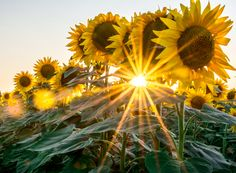 Sunflowers by Sonia  on 500px