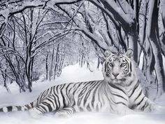 Winter white tiger.                                                                                                                                                      More