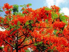 Beautiful Tree: Royal Poinciana (Delonix regia) Hemingway's home in Key West, Fl. these were so pretty! Delonix Regia, Hemingway House, Pool Fence, Lombok, Flowering Trees, Key West, Lawn, Photo Galleries, Asia