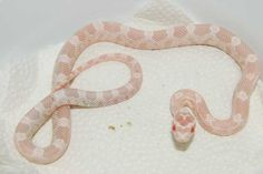 8 Best Snakes images in 2013 | Snakes, Beautiful snakes, Cute snake