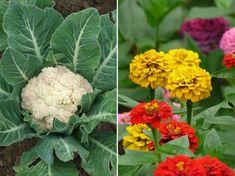 6 növénytársítás, amelynek mindkét tagja jól jár | Hobbikert Magazin Outdoor Gardens, Cauliflower, Vegetables, Flowers, Plants, Gardening, Cauliflowers, Lawn And Garden, Vegetable Recipes