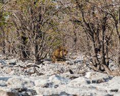 "Os ""Big"" do Etosha Zebras, Camping, Snow, Big, Animals, Outdoor, African Elephant, Hyena, Elephants"