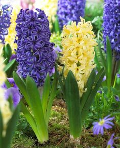 Know Before You Grow: Planting hyacinth bulbs is easy. Learn all about hyacinth bulbs including How to Plant Hyacinth Bulbs, When to Plant Hyacinth Bulbs, and Hyacinth Bulbs Care. Bulb Flowers, Plants, Spring Bulbs, Spring Flowering Bulbs, Tulips Garden, Bulb, Flower Garden, Fall Plants, Longfield Gardens