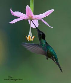 ♥~Hummingbirds are Amazing~♥
