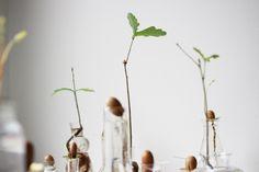 odla ekar från ekollon