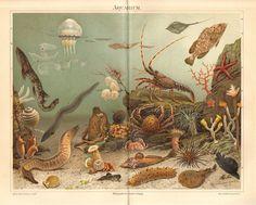 1892 Sea Life, Sea Squirt, Jellyfish, Squid, Octopus, Sea Sponge, Crab, Lobster, Coral, Starfish, Sea Urchin, Sea Anemone Antique Lithograph