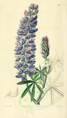 flowers-22269 - 038-lupinus leptocarpus, Slender-fruited Lupine [1954x3428] commercial Victorian pages download flower royalty botanical paintings old wall high domain books botany nature Edwardian lithographs fabric ArtsCult.com illustration scan picture public 1700s nice flora Pictorial free engravings use masterpiece transfer art Artscult naturalist printable Graphic scrapbooking vintage floral ArtsCult collage supplies flowers instant 17th digital qulity decoration beautiful collection…