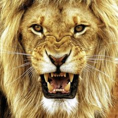Growling Lion animals animal cute animals animal pictures animal photos
