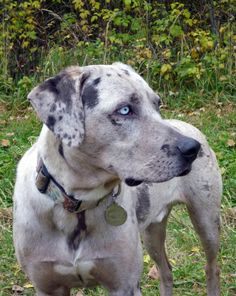 Catahoula Leopard Dog, the state dog of Louisiana. My family always had these catahoula dogs as I grew up.  They are wonderful and very smart