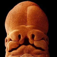 human embryo face at about 5 weeks