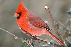 red things in nature | Red Cardinal Bird