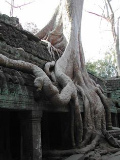 Had Ta Prohm been diligently maintained from its construction in 1186 to the present day, it would be just a footnote to the larger Angkor Wat temple. But while Ta Prohm lay forgotten and neglected by men, the Cambodian jungle wasted no time in devouring it. Silk-cotton and strangler fig trees took root in the loosened stones of the temple, which was built entirely without mortar. Their roots wound through the structure, creating an astonishing merger of nature and architecture.