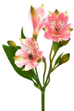 alstroemeria - Peruvian Lily