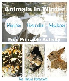 Animals in Winter: Migration, Hibernation & Adaptation {Free Printable}