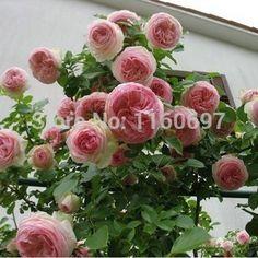 Bonsai tree seeds 300 seeds/bag climbing rose seeds sementes de rosa of Flower Seeds semillas For home casa e jardim garden
