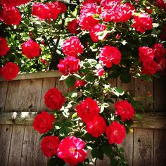 """Roses say """"June is here"""" to us in MA and NH!"""