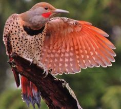 Northern flicker drying it's wings off after a spring rain. Chris Parlow.