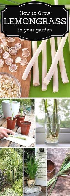 How to grow Lemongrass in a garden. #howtogrowagarden #Vegetablegardenbasics