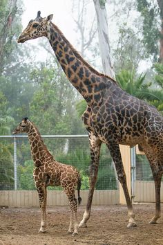 The San Diego Zoo's newest and smallest giraffe is growing up—and he's growing up fast! Obi, a giraffe, delighted animal care staff when he was born to mother, Nicky; and father, Silver; right in front of. Zoo Giraffe, Giraffe Family, Giraffes, Okapi, San Diego Zoo, Beautiful Creatures, Pet Care, Mammals, Habitats