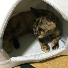 今日もめかぶが鳴いてます。 ひーちゃんと離れて2日。😭 ひーちゃんは元気かな… めかぶは昨日よりは大人しくなったけど…きっと寂しいだろうな。😢💔 タグ新しくしました。いつまでも寂しいって言ってられないので😢 ひーちゃんは幸せになるために行ったんだから(;ω;) #猫 #猫専用アカウント#愛猫 #愛猫家  #めかぶ #めーちゃん #サビトラ #猫は世界を救う #猫スタグラム #猫のいる生活 #肉球 #肉球部 #肉球愛 #にゃースタグラム #サビ猫 #メス猫 #猫同盟 #猫好き #猫かわいい #猫日記 #我が家の猫自慢 #家族 #うちのサビは世界一