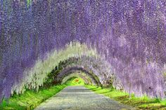 Wisteria tunnel like a painting - Album on Imgur